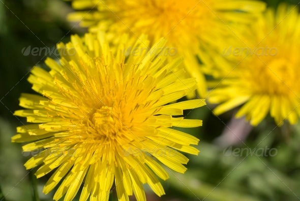 Dandelion Closeup - Stock Photo - Images