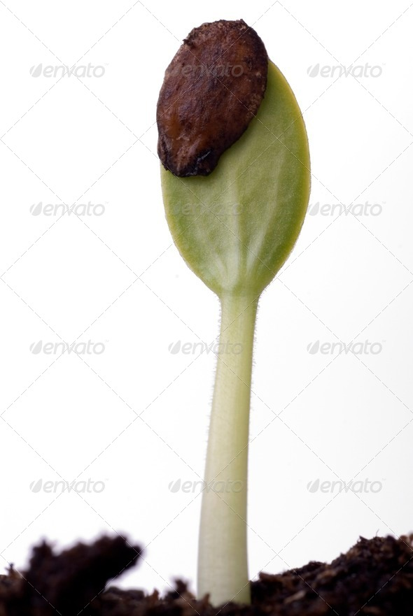 Watermelon Seed Sprouting - Stock Photo - Images
