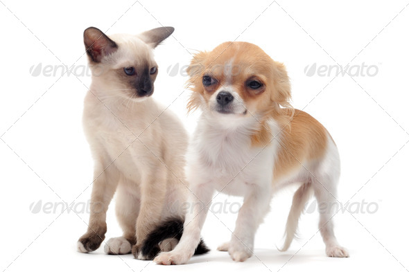 puppy chihuahua and kitten - Stock Photo - Images