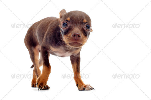 puppy chihuahua afraid - Stock Photo - Images
