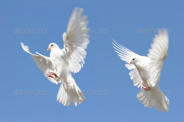 Stock Photo - PhotoDune White dove in flight 864461