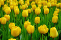 Yellow tulips - PhotoDune Item for Sale