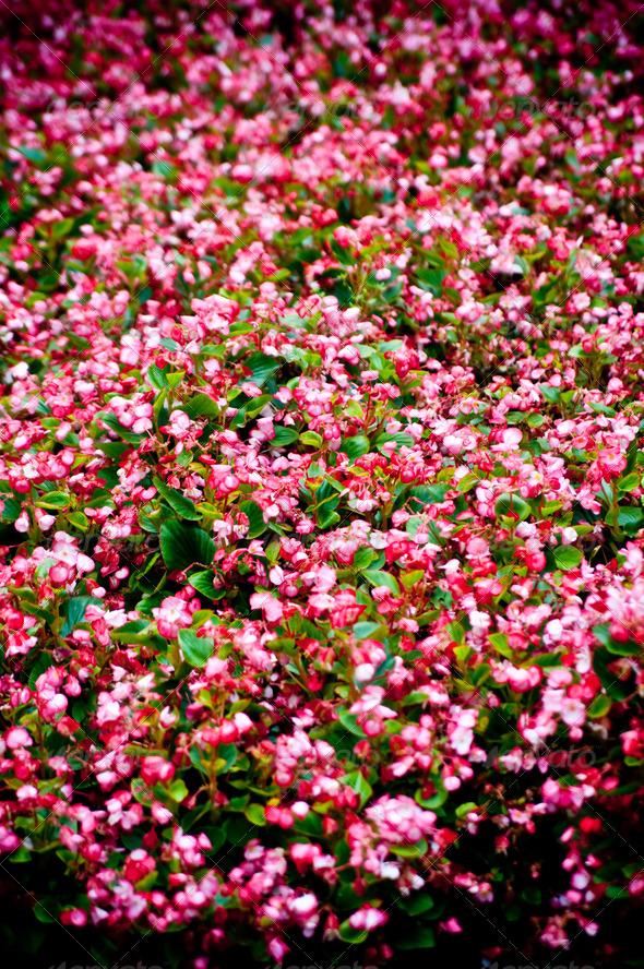pink flower bed - Stock Photo - Images