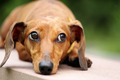 dachshund dog in park - PhotoDune Item for Sale
