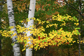 Birch Tree Branch Closeup - PhotoDune Item for Sale