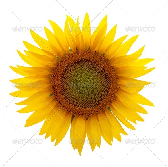 Sunflowers - Stock Photo - Images