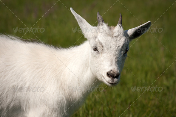 Goat animal - Stock Photo - Images