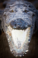 Charging crocodile jaws - PhotoDune Item for Sale