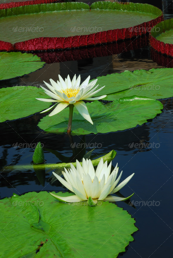 Water lily - Stock Photo - Images