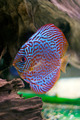 colorful discus fish - PhotoDune Item for Sale