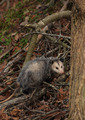 Forest Opossum in Kentucky - PhotoDune Item for Sale