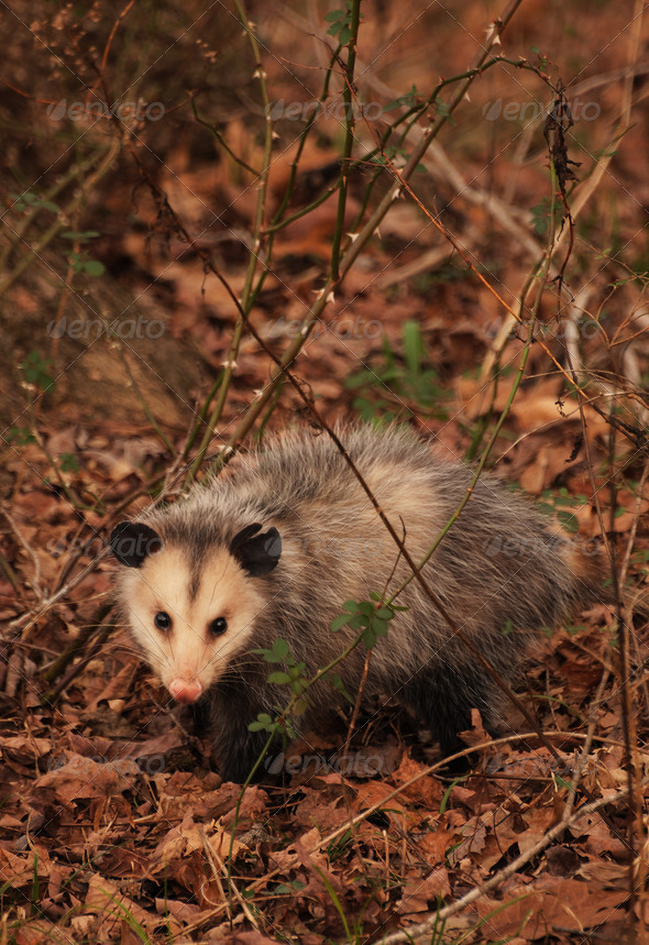 Posing Opossum In A Forest - Stock Photo - Images