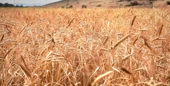 [VideoHive 125945] Wheat field | Stock Footage
