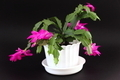 Christmas cactus - PhotoDune Item for Sale