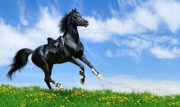 Black Arabian Horse Gallops - Stock Photo - Images