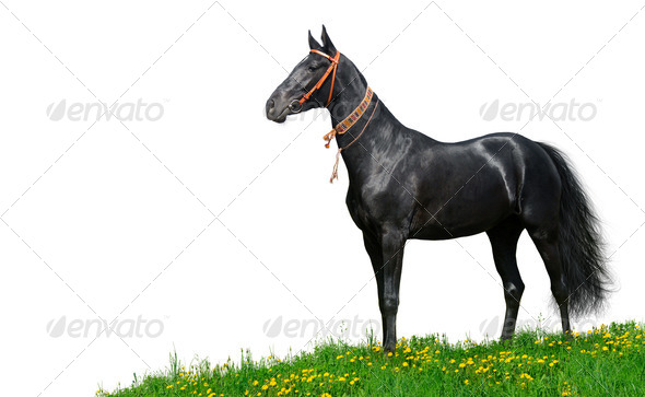 Black Akhal-Teke Horse - Stock Photo - Images
