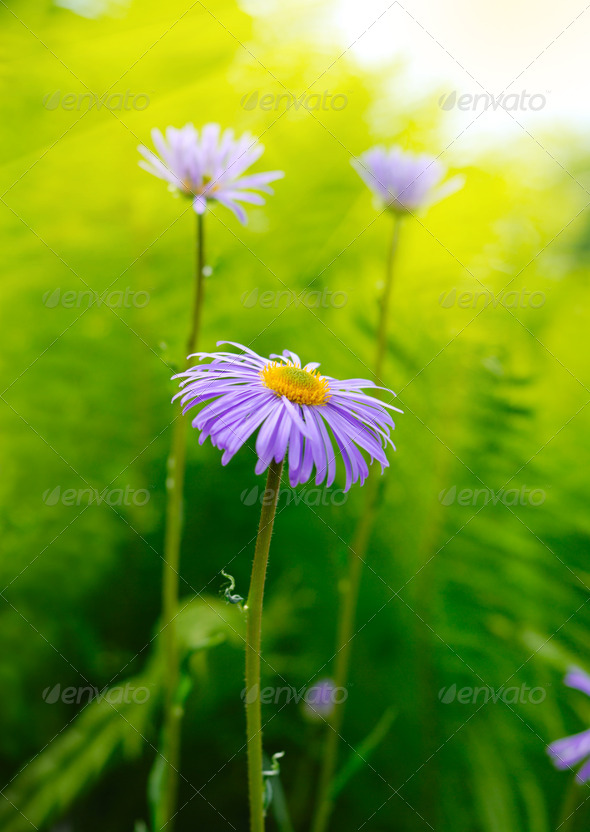 Magenta asters - Stock Photo - Images