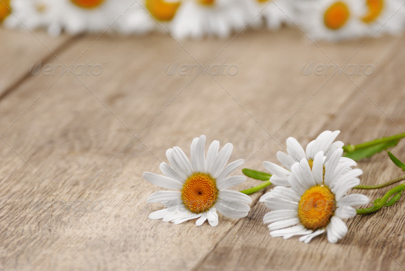 Fresh chamomile flowers - Stock Photo - Images