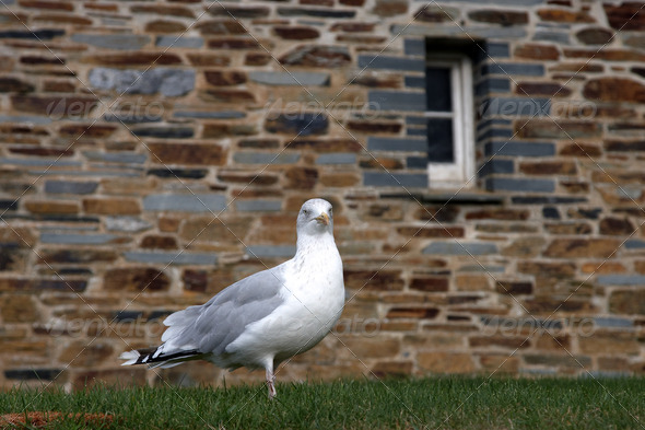 One seagull - Stock Photo - Images