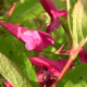 Stock Flowers (HD) 1 - Pink Lilies - 720p HD - VideoHive Item for Sale