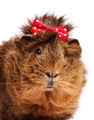 Funny guinea pig portrait over white background - PhotoDune Item for Sale