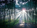 Sunset in the Rubber Plantation - PhotoDune Item for Sale