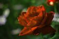 Red Rose  - PhotoDune Item for Sale