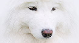 Samoyed Dog - snow-white miracle of North