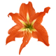 Lilium flower - GraphicRiver Item for Sale