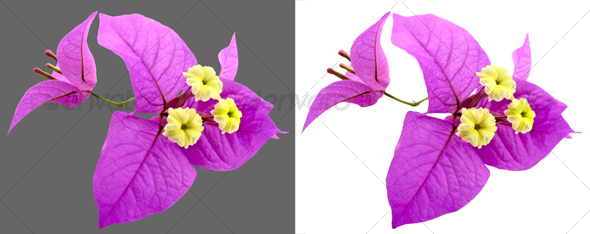 Santa Rita Flowers - Nature & Animals Isolated Objects