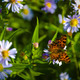 painted lady butterfly - PhotoDune Item for Sale
