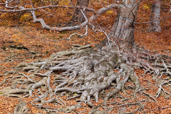 Roots of a tree in fall colors - Stock Photo - Images