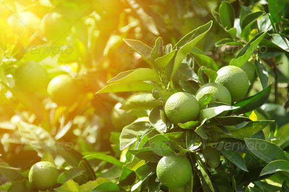Detail of green oranges in orchard - Stock Photo - Images