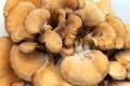 Maitake Mushrooms - PhotoDune Item for Sale