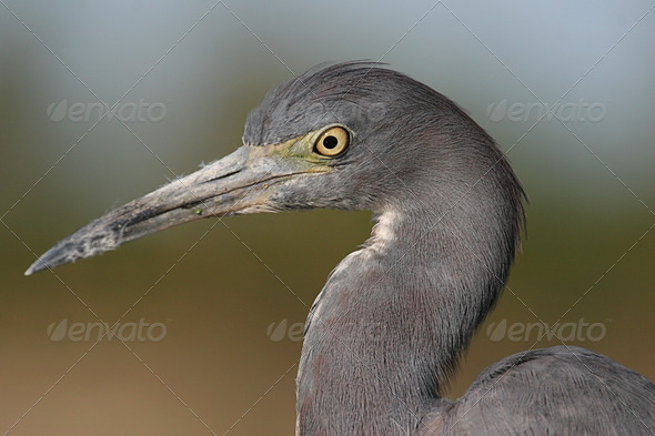 Little Blue Heron - Stock Photo - Images