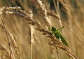 Grasshopper on wheat - PhotoDune Item for Sale