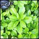 Leafy Pachysandra Ground cover - GraphicRiver Item for Sale