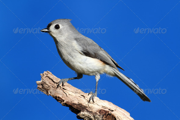 Tufted Titmouse - Stock Photo - Images