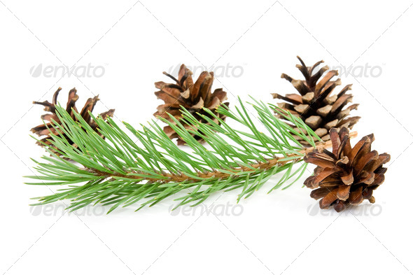Cones And Green Pine Branch - Stock Photo - Images