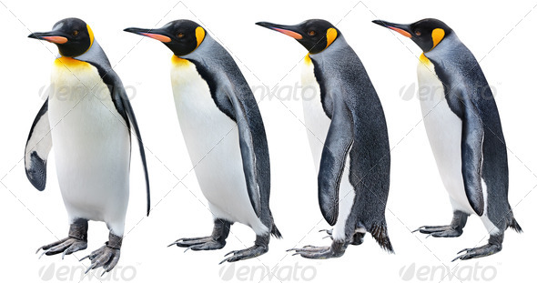 King Penguin - Stock Photo - Images