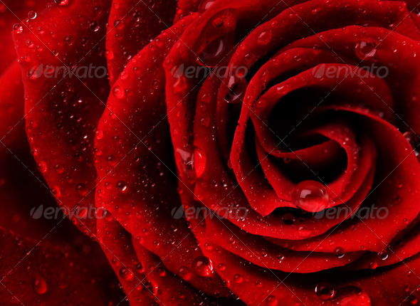Red Rose Flower Closeup - Stock Photo - Images