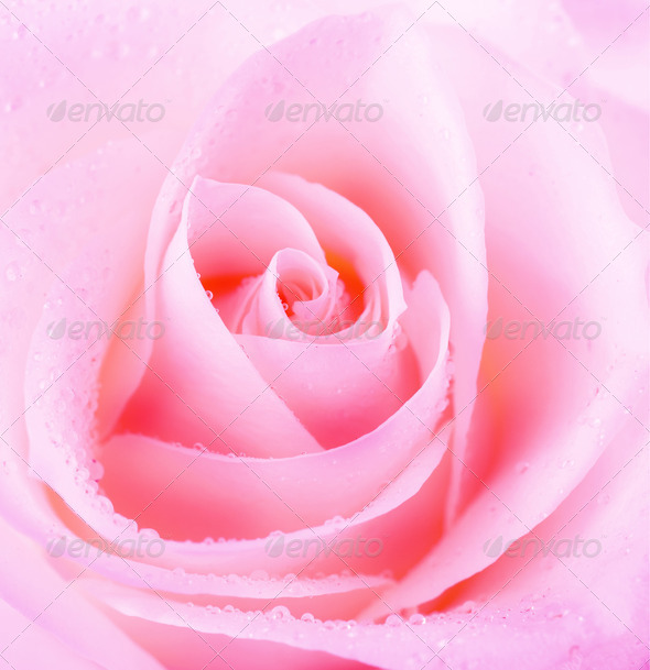 Beautiful Rose Flower - Stock Photo - Images
