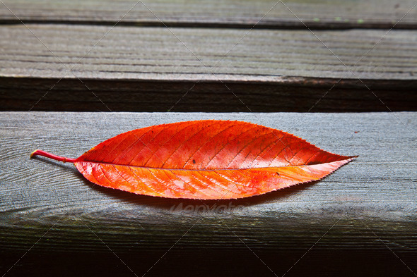 All Alone (Red Fall Leaf) - Stock Photo - Images