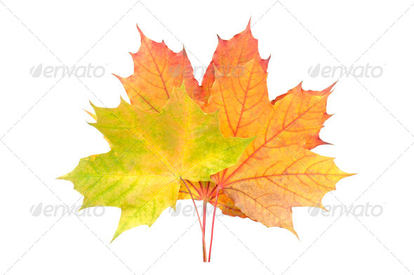 Yellow, Red and Green Fallen Autumn Leaves Isolated on White Background - Stock Photo - Images