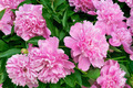 Group of fresh pink peony heads with leaves - full frame - PhotoDune Item for Sale