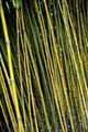 Bamboo jungle - detail - background - PhotoDune Item for Sale