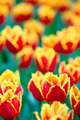 closeup beauty red - yellow tulips  shallow DOf - PhotoDune Item for Sale