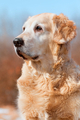 Portrait dog - golden retriever - PhotoDune Item for Sale