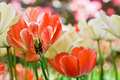 Detail color tulips with beauty blur background - PhotoDune Item for Sale
