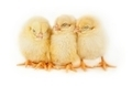 Sleeping  Easter chicks - PhotoDune Item for Sale